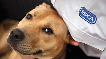 Portrait of a Staffordshire bull terrier © Joe Murphy / RSPCA Photolibrary