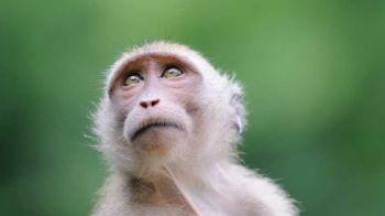 Macaque © istockphoto.com/Nils Kahle