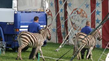 Circus zebras 2007. © Captive Animals' Protection Society www.captiveanimals.org