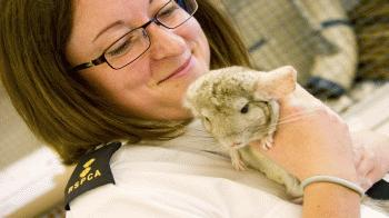 Deputy chief inspector Teresa Potter holding adult chinchilla © Damion Diplock / RSPCA Photolibrary
