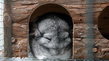 Chinchilla sleeping © Burgess Pet Care 2010 Creative Commons Attribution-No Derivative Works