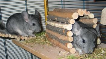 Two chinchillas exploring their home © Virginie Soucaze / Fotolia