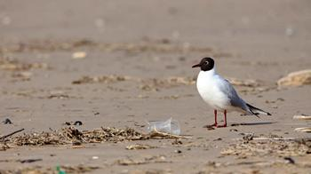 Black-headed gull on beach with litter © Andrew Forsyth/RSPCA Photolibrary