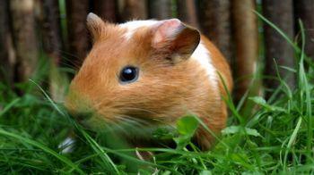 Brown and white guinea pig in a grassy enclosure © Fotolia / Meerschweinchen Gerritgr