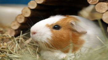 Brown and white guinea pig sitting under a wooden shelter © iStockphoto
