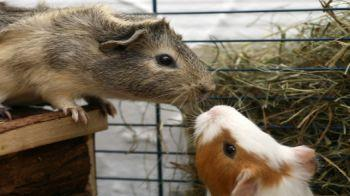 Two guinea pigs eating hay from a hay rack © iStockphoto