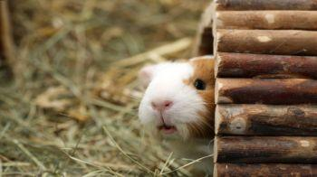 Brown and white guinea pig looking out of a wooden shelter © iStockphoto