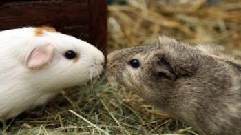 Two guinea pigs touching noses © iStockphoto
