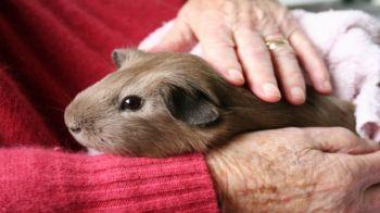 Brown guinea pig being held on a lap © iStockphoto