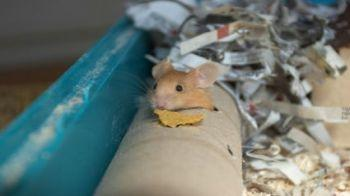 Mouse eating a cereal flake © iStockphoto