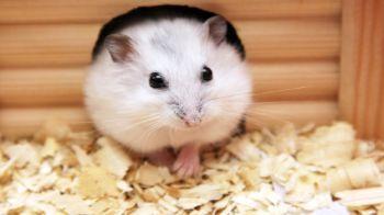 Hamster in nesting box © iStockphoto