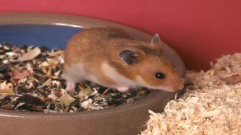 Hamster in flat food dish © Fotolia