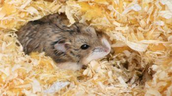 Hamster Nesting © iStockphoto