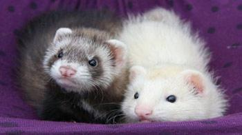 Ferrets in their hammock © iStockphoto