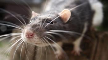 Inquisitive rat © Fotolia