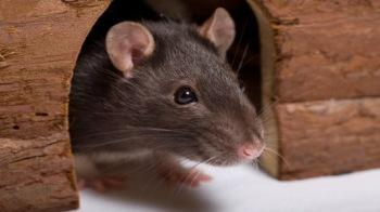 Rat in a shelter © Fotolia