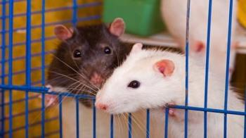 Two rats keeping each other company © Fotolia
