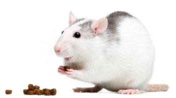 Rat eating © iStockphoto