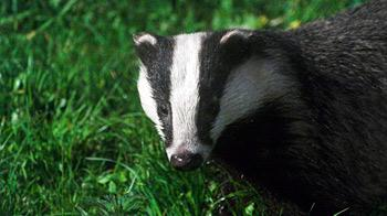 Badgers on the road