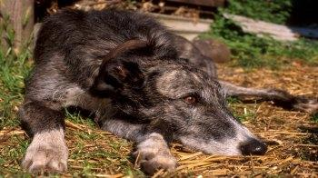Adult Lurcher outside © Andrew Forsyth / RSPCA Photolibrary