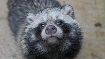 Raccoon dog © RSPCA