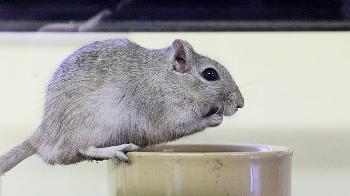 Gerbil diet | Gerbils | Our pets