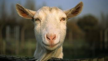 Goat standing outside © RSPCA