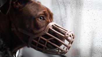 Muzzled dog Mason because of Breed Specific Legislation © RSPCA