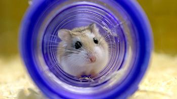 Hamster enjoying itself in tube