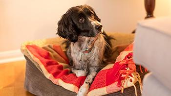Spaniel lying in dog bed © RSPCA