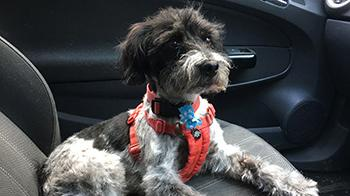 Terrier Clyde loves riding in the car