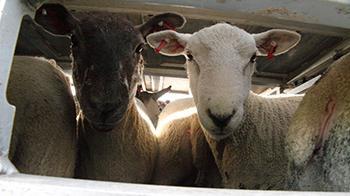 Sheep crammed on truck © RSPCA