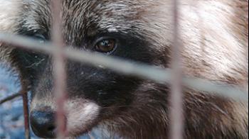 Racoon dog © RSPCA