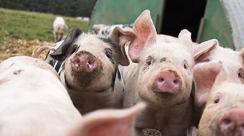 Pigs running towards camera outdoors by pigsty © RSPCA