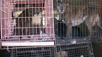 Dogs left in stacked cages at the back of a van © RSPCA