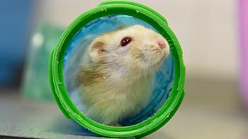 Hamster in hamster run © RSPCA