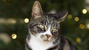Cat sitting infront of christmas tree © RSPCA