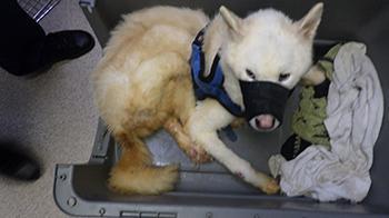 Husky Kenz before he came into RSPCA care © RSPCA