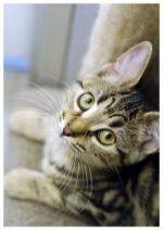 Tabby kitten looking up © Leigh Hyland RSPCA Australia