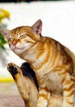 Ginger cat scratching © IStock Photos / Derausdo