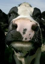 Close-up portrait of single adult Holstein cow outdoors © Andrew Forsyth/RSPCA Photolibrary