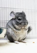 Chinchilla feeding © Gala K / Fotolia