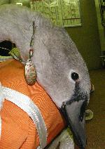 Cygnet with fishing litter injury
