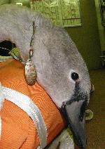 Cygnet with fishing litter injury