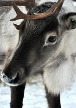 reindeerimg