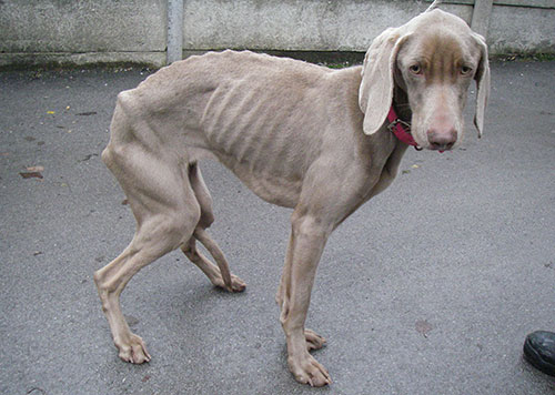 Lola the dog looking very emaciated