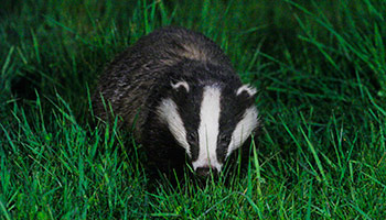 Badger lurking in grass at night © RSPCA
