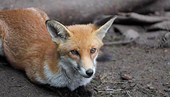 Close up of fox laying down in woods © RSPCA