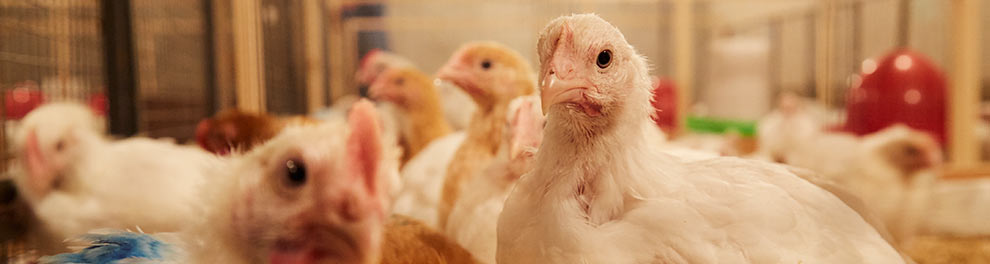 Broiler chickens farmed for food © RSPCA