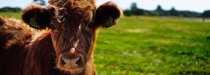 Close up of bull in a field © RSPCA